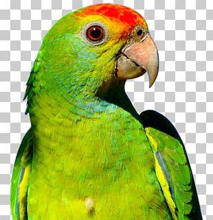 Parrot Budgerigar Bird PNG