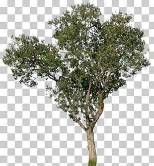 Populus Nigra Tree Oak Magnolia PNG