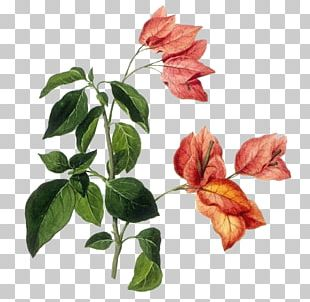 Botanical Illustration Botany Drawing Species Plantarum PNG