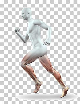 Muscle Leg Running Anatomy Calf PNG