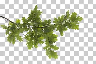 Tree Branch Leaf PNG