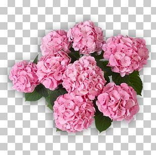 Cabbage Rose Garden Roses Pink Panicled Hydrangea Flower PNG