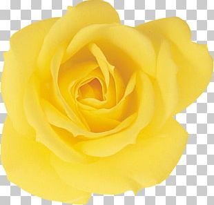 Garden Roses Beach Rose Yellow Petal PNG