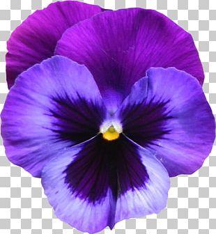 Sweet Violet Flower Purple PNG
