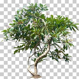 Populus Nigra Tree Plant Plumeria Rubra PNG