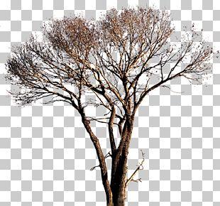 Populus Alba Tree PNG