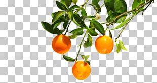 Clementine Mandarin Orange Tangerine Bitter Orange PNG