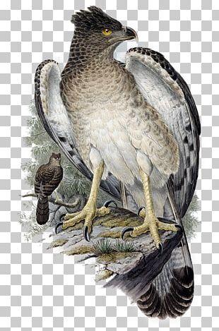 Hawk Bird Papuan Eagle PNG
