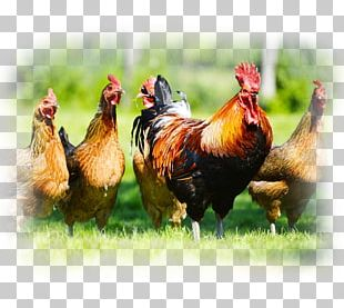 Chicken Cattle Poultry Farming Livestock PNG