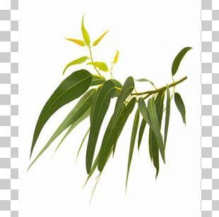 Eucalyptus Globulus Essential Oil Plant Menthol PNG