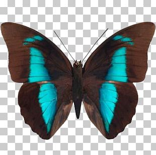 Brush-footed Butterflies Butterfly Prepona Gossamer-winged Butterflies Moth PNG