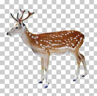White-tailed Deer Red Deer Reindeer Elk PNG
