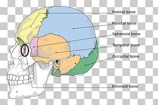 Human Skeleton Anatomy The Skeletal System Bone Skull PNG
