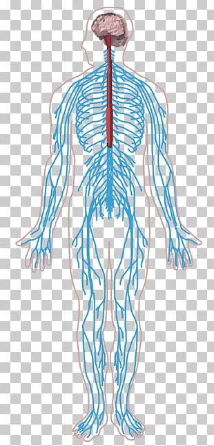 Peripheral Nervous System Nerve Human Body Central Nervous System PNG