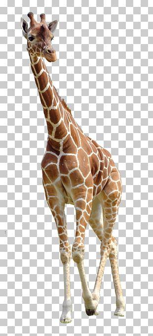 Northern Giraffe PNG