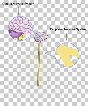 Brain Central Nervous System Peripheral Nervous System Structure And Function Of The Nervous System PNG