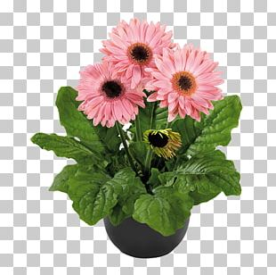 Transvaal Daisy Flowerpot Plant Floral Design PNG