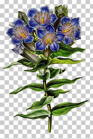 English Botany Biodiversity Heritage Library Botanical Illustration PNG