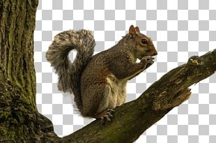 Red Squirrel Rodent PNG