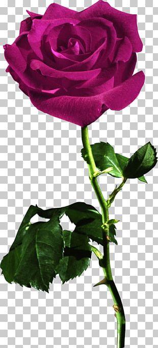 Rose Red Desktop Flower PNG