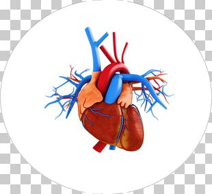 Stock Photography Heart Anatomy PNG