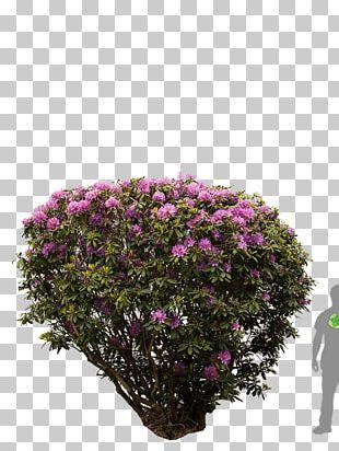 Rhododendron Tree Shrub Azalea Flower PNG