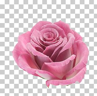 Rose Flower Pink PNG