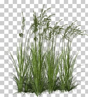 Ornamental Grass Ornamental Plant Fountain Grass PNG