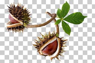 European Horse-chestnut Stock Photography Conkers PNG