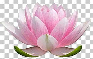 Nelumbo Nucifera Water Lilies Stock Photography Flower PNG