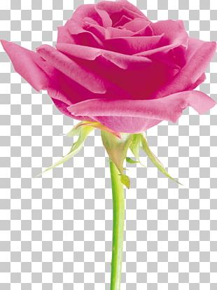 Beach Rose Cut Flowers Petal Garden Roses PNG