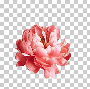 Pink Flowers Photography Nature Story Peony PNG