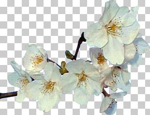Cut Flowers Spring Blossom ST.AU.150 MIN.V.UNC.NR AD PNG