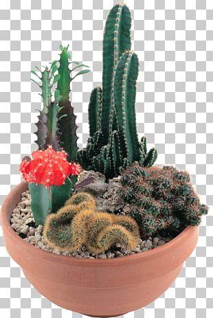 Cactaceae Succulent Plant Echinocereus Coccineus Barbary Fig PNG