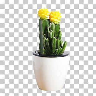 Mammillaria Herrerae Flowerpot Cactus Y Suculentas Succulent Plant Bonsai PNG