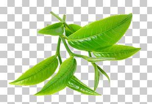 Green Tea Tea Tree Oil Camellia Sinensis PNG