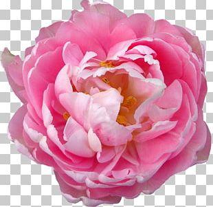 Rose Flower Blossom Pink PNG