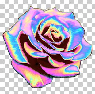 Rainbow Rose Garden Roses T-shirt Cabbage Rose Cut Flowers PNG