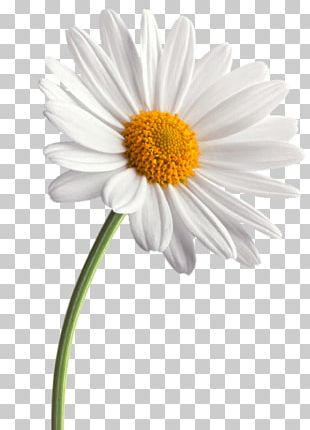 Common Daisy Flower Daisy Family Transvaal Daisy PNG
