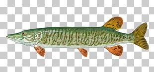 Northern Pike Tiger Muskellunge Fishing Salmon PNG