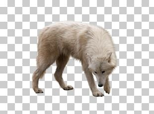 Dog Arctic Wolf Arctic Fox PNG