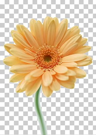 Transvaal Daisy Cut Flowers Floral Design Tulip PNG