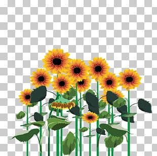 Common Sunflower Cut Flowers Transvaal Daisy Sunflower Seed Annual Plant PNG