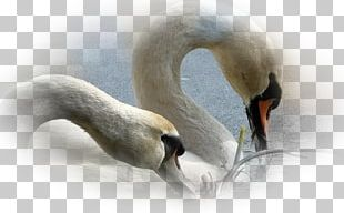 Mute Swan Desktop Screensaver Mobile Phones PNG