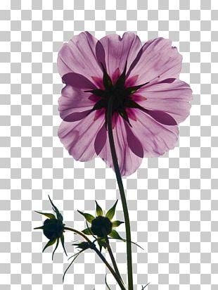 Cosmos Bipinnatus Pink Flowers Bud Stock.xchng PNG