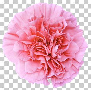 Pink Flowers Carnation Desktop PNG