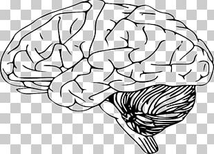 Outline Of The Human Brain Drawing PNG