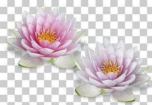 Nelumbo Nucifera Egyptian Lotus Flower PNG