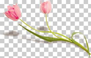 Flower Lady Tulip Petal Plant Stem PNG
