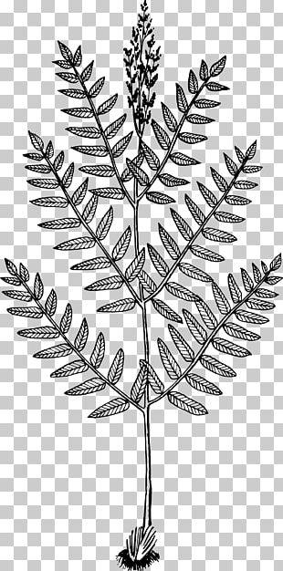 Osmunda Regalis Plant Tree Leaf Fern PNG